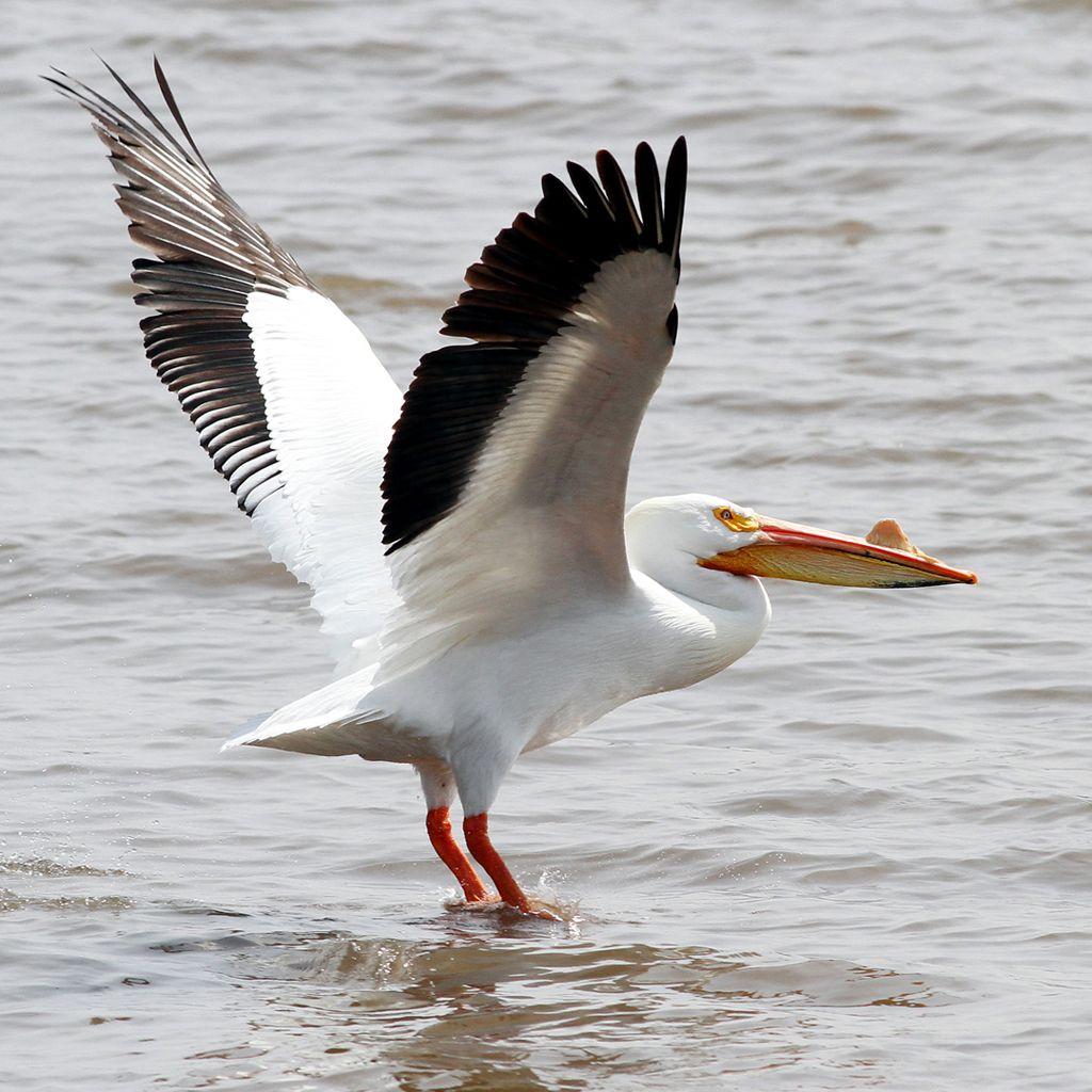 Pelicans of LeClaire